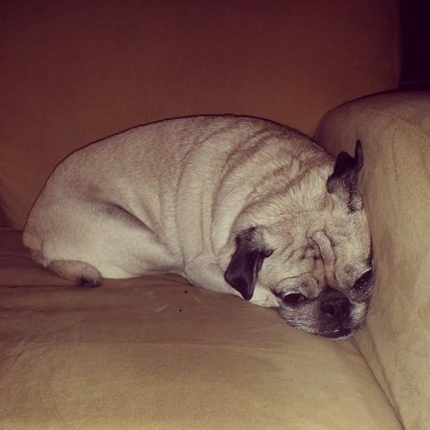 Tallulah, ASMPNY's mascot #pugs #pugsofinstagram #cute #dogs