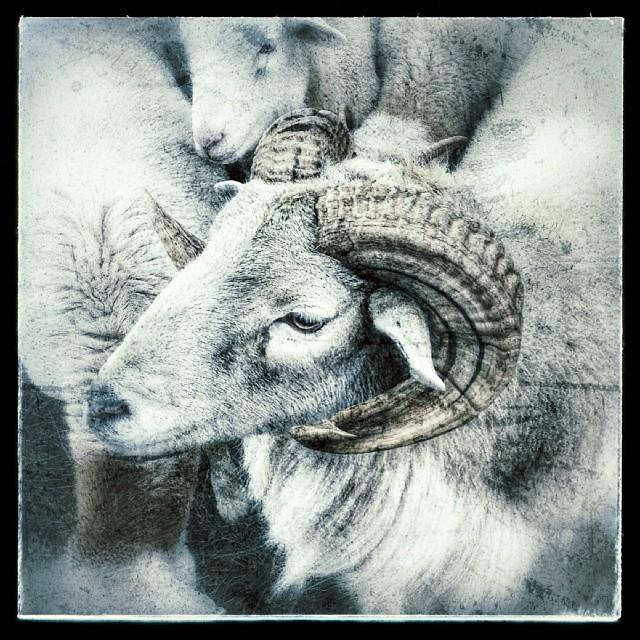 Sandor the Ram #sheep #farm #animals #cute #male #livestock #pennsylvania #ram