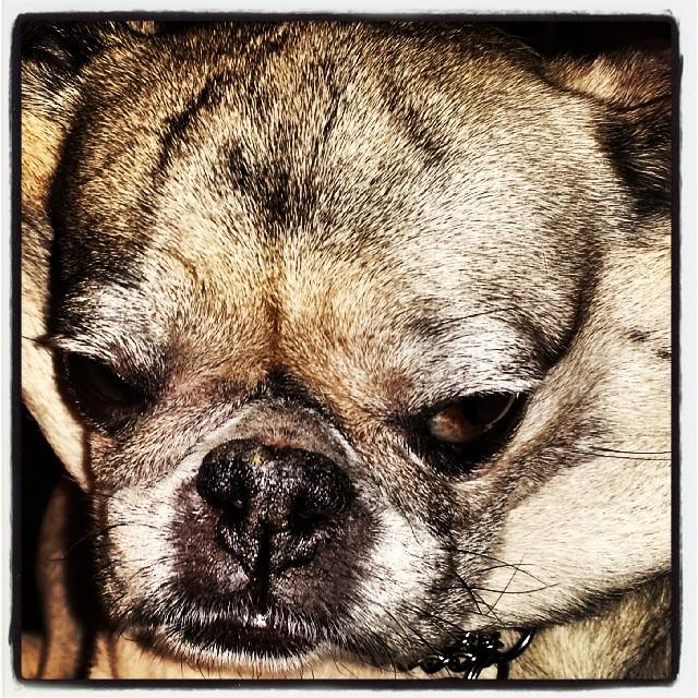 The Cobra #pugsofinstagram #pugs #dogs #puppy #puppies #cute #adorable #newyorkpugs