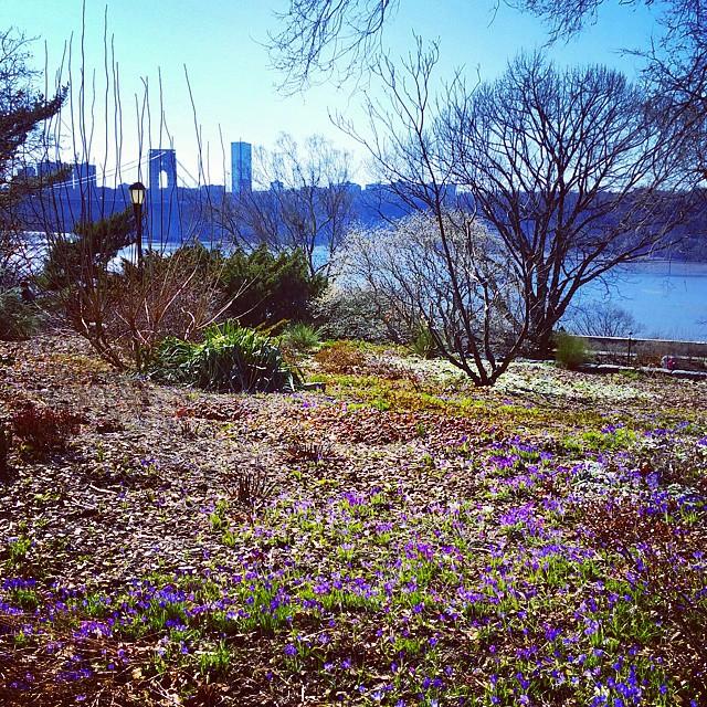 Crocuses in Bloom, Heather Garden #nyc #spring #forttryonpark #forttryonparktrust