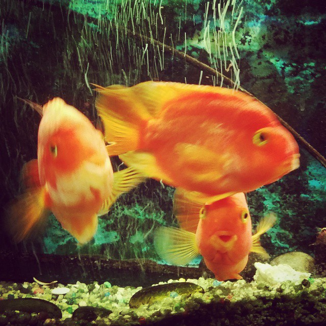#fish #orange #water #fishtank