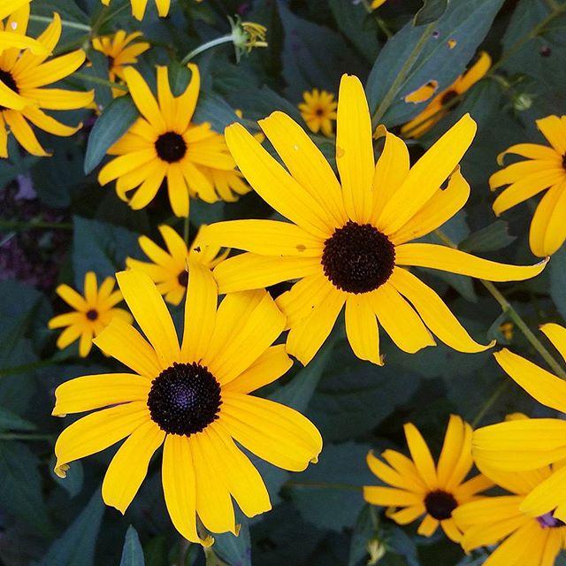 Black eyed susans #flowers #floral #garden #summer #newyork