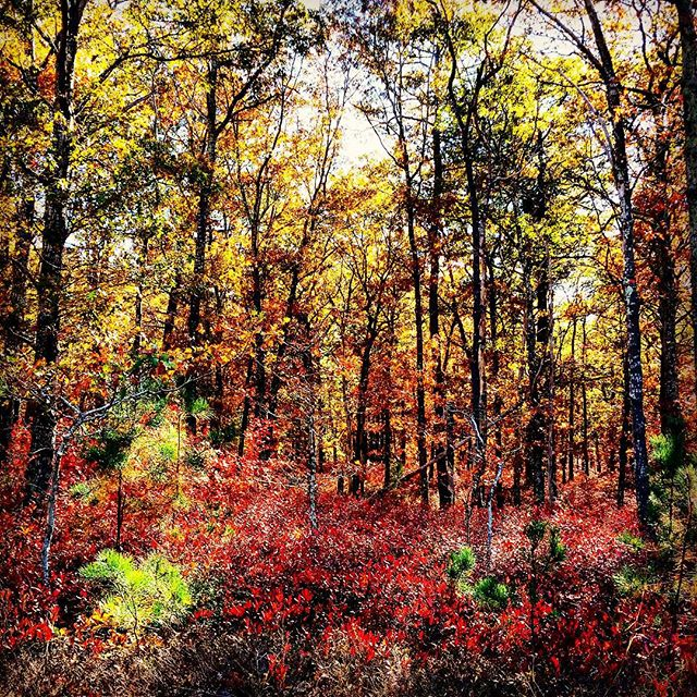 Fall Colors, Long Island #longisland #hamptonbays #autumn #fall #foliage #leafpeeping