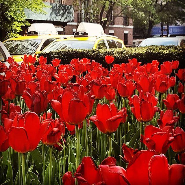 I Love New York In The Springtime #newyork #nyc #gorgeous #spring #springtime #springhassprung #redtulips #redandyellow #latergram