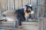 This little goat climbed up and went to sleep.