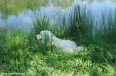 The farm's Great Pyreneese dog enjoys a cool, quiet spot