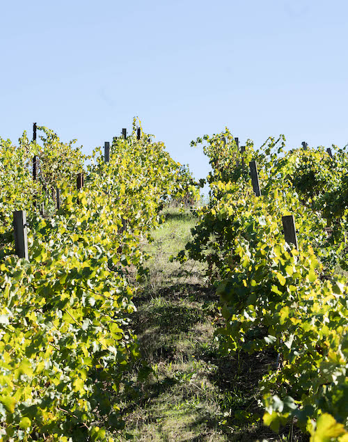 Dry Creek Valley Vineyard