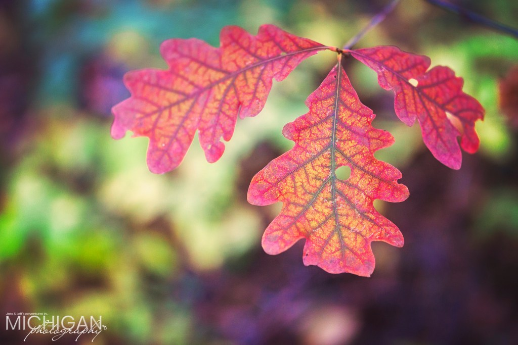 A young Oak weilds it's earthy colors in Autumn