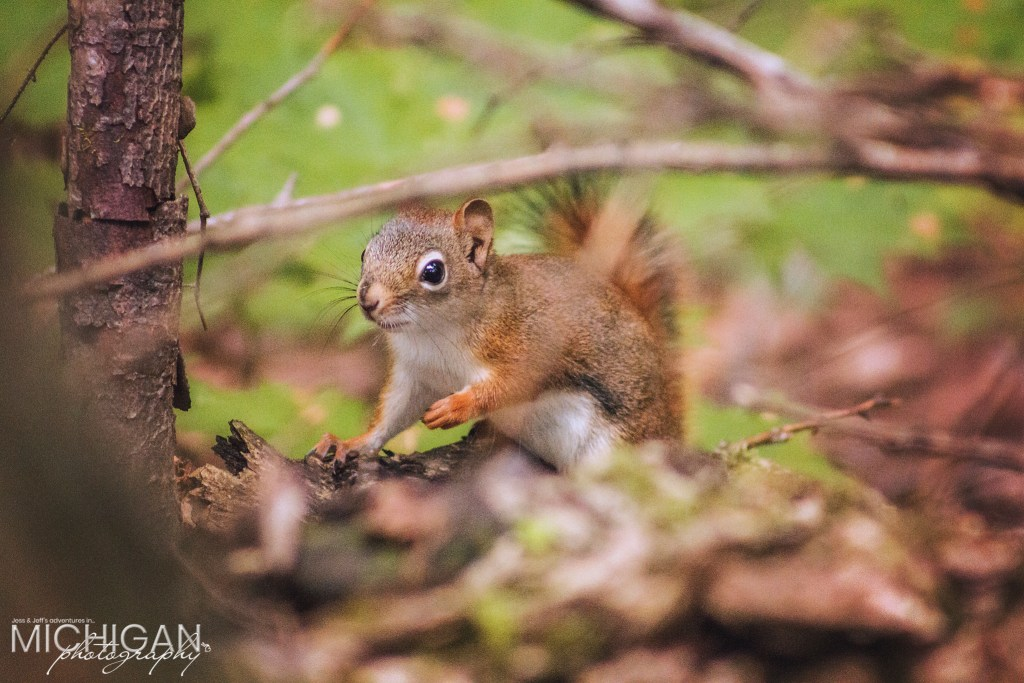 A small squirrel found on the trails of the Porcupine Mountains