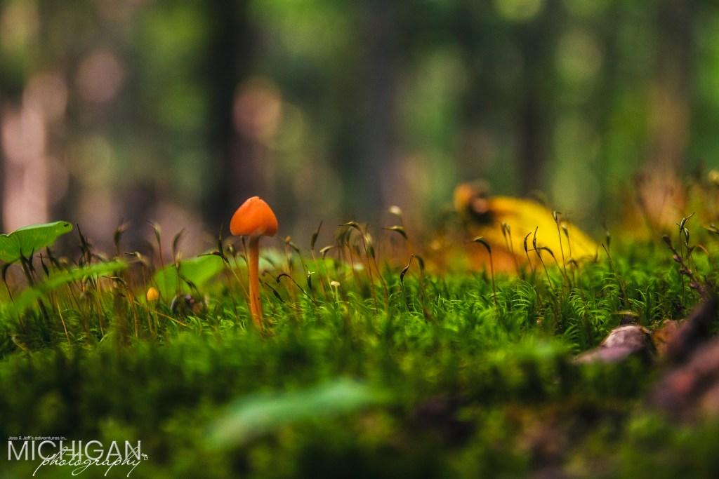 Mycena Strobilinoides, or Scarlet Fairy Helmet Mushroom on the forest floor of the Porcupine Mountains