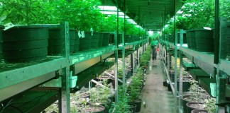A marijuana growing operation