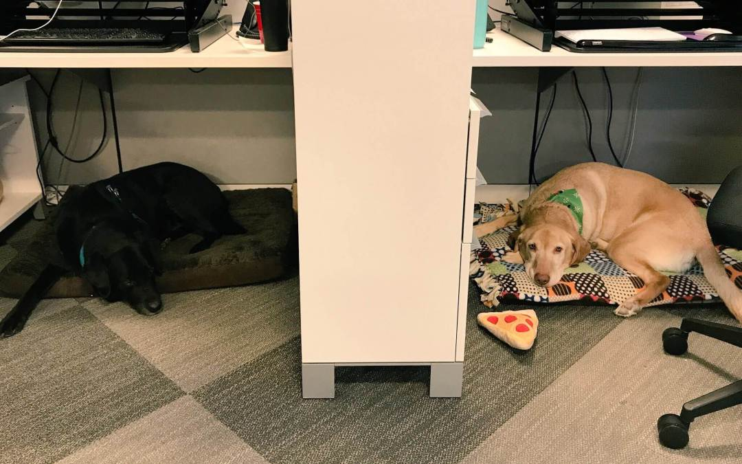 Two Labrador Retrievers spend time at a workplace.