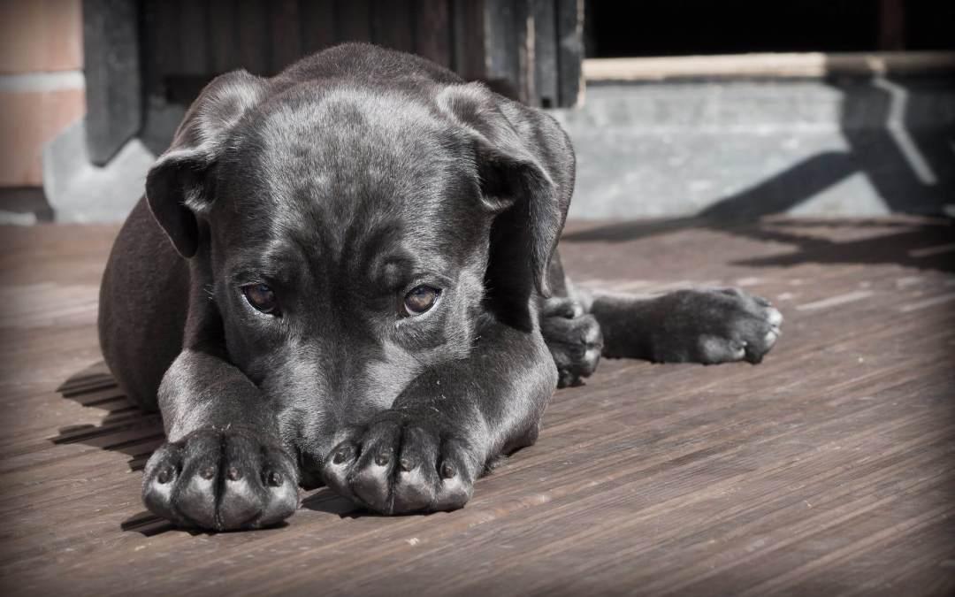 A black dog being shy.