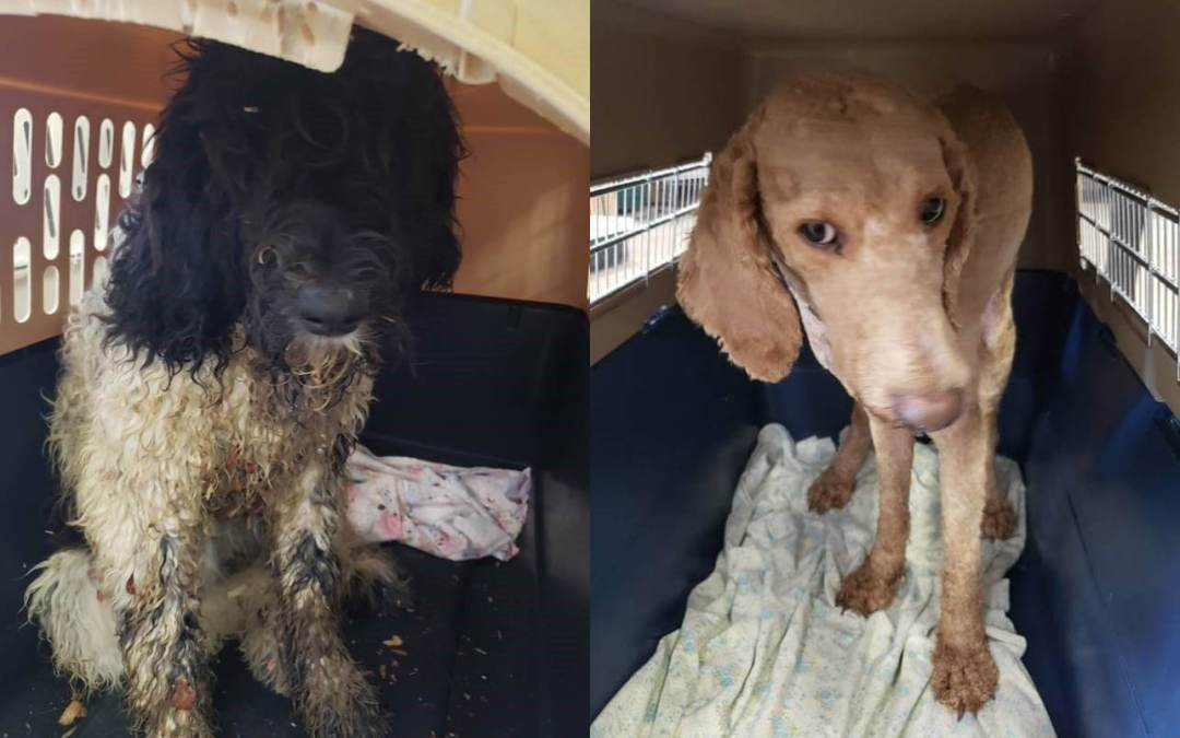 Dogs rescued from puppy mill in Hillsdale, Michigan.
