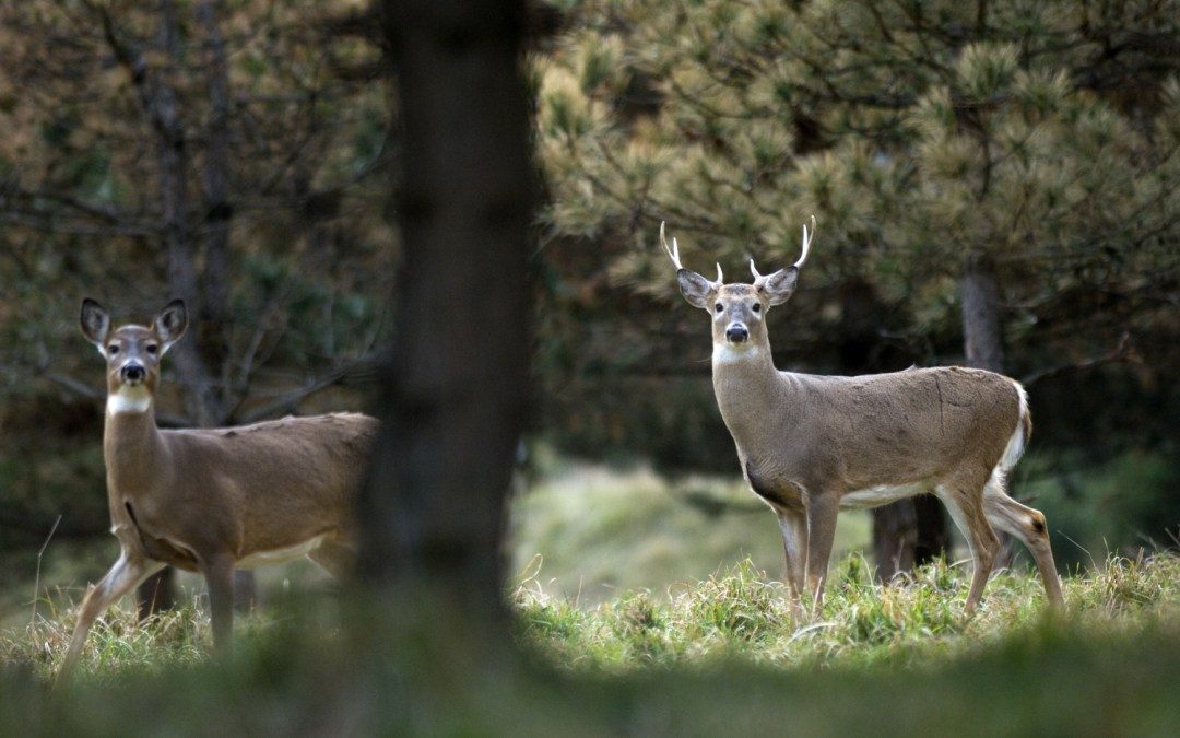 Second deer confirmed positive for CWD in Montcalm County, three suspected awaiting confirmation