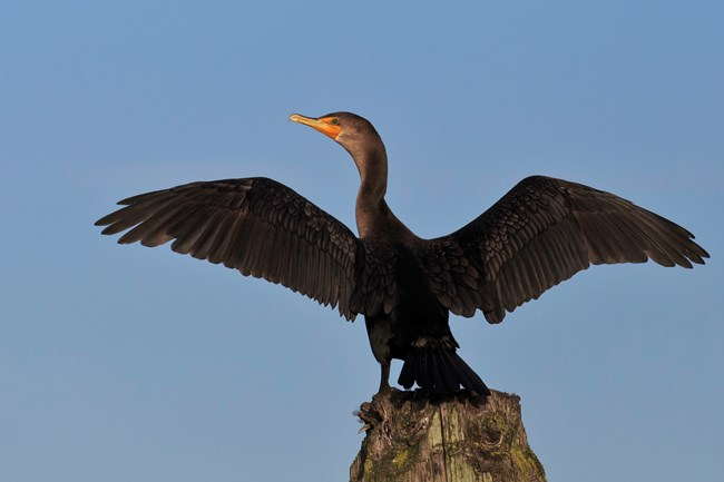 MUCC Supports Cormorant Control HR 4429