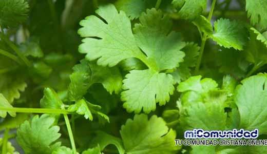 Beneficios del cilantro para la salud humana