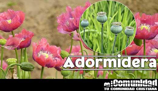 Propiedades curativas y medicinales de la Adormidera