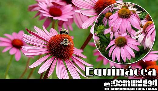 Propiedades curativas y medicinales de la Equinácea