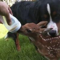 Un ciervo recién nacido se niega a abandonar al hombre que salvó su vida