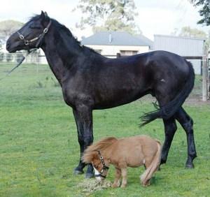 caballo-miniatura-foto-2
