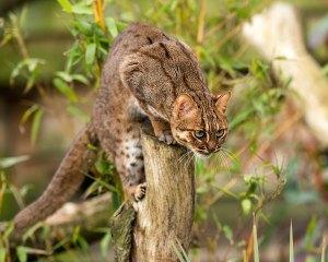 felinos-salvajes-inusuales-13