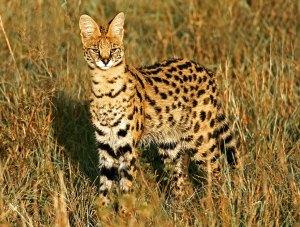 felinos-salvajes-inusuales-19