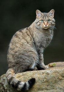 felinos-salvajes-inusuales-20