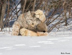 felinos-salvajes-inusuales-21