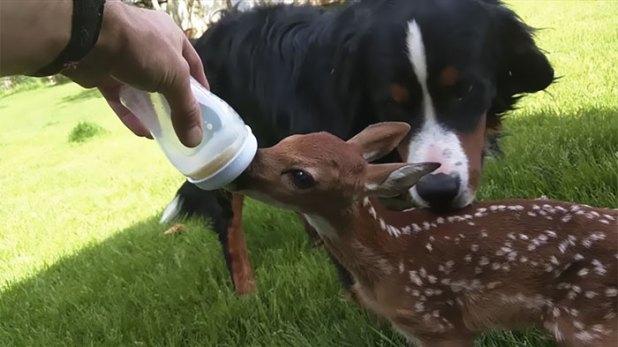 hombre-salva-un-ciervo-recien-nacido-amistad-de-animales-1