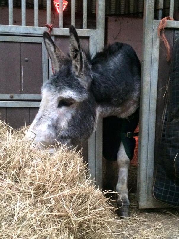 burro-rescatado-riada-sonrisa-irlanda-5