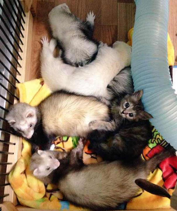 gato-komari-adoptado-familia-hurones-7