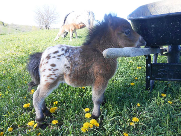 mini-caballos-1