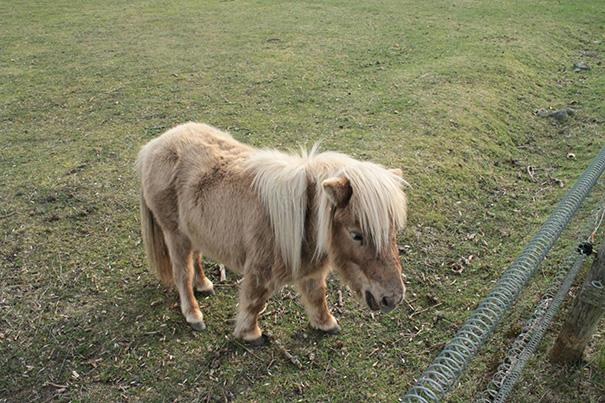 mini-caballos-2