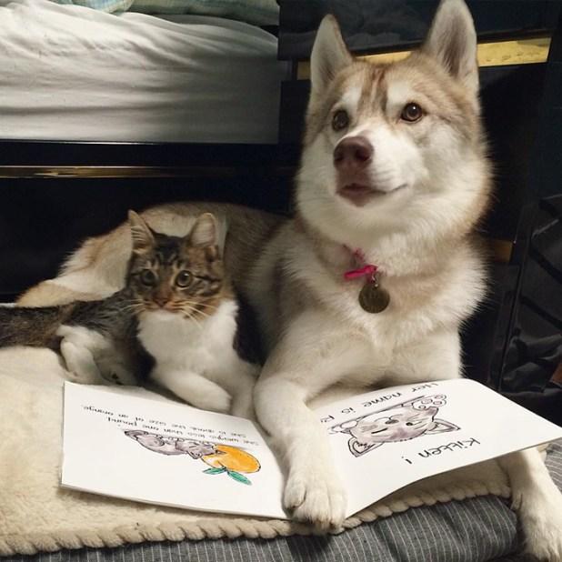 gato-rosie-amistad-3-perros-huskies-13