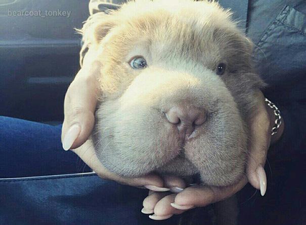 perro-adorable-sharpei-parecido-oso-tonkey-10