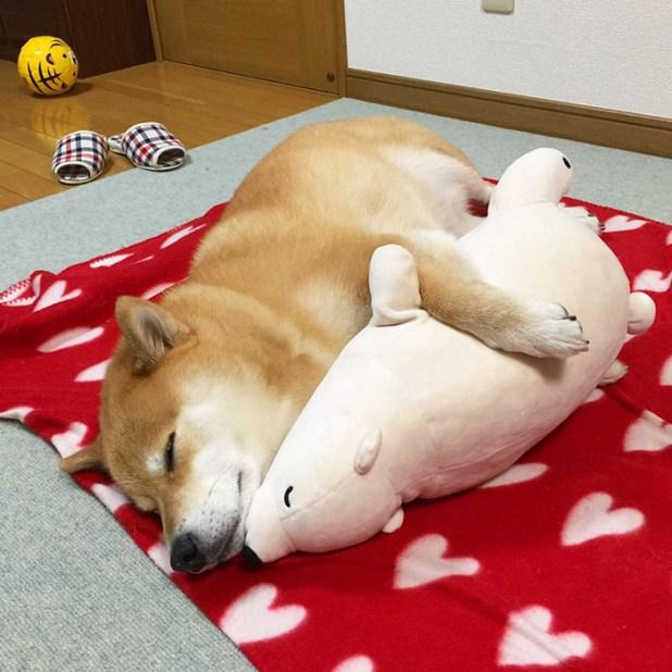 perro-shiba-inu-maru-dormir-igual-oso-peluche-3