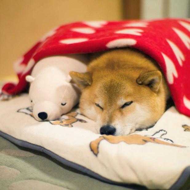 perro-shiba-inu-maru-dormir-igual-oso-peluche-4