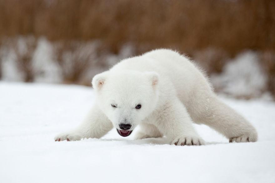 13 Tiernos Osos Polares Bebé Para Celebrar El Día Internacional Del Oso Polar