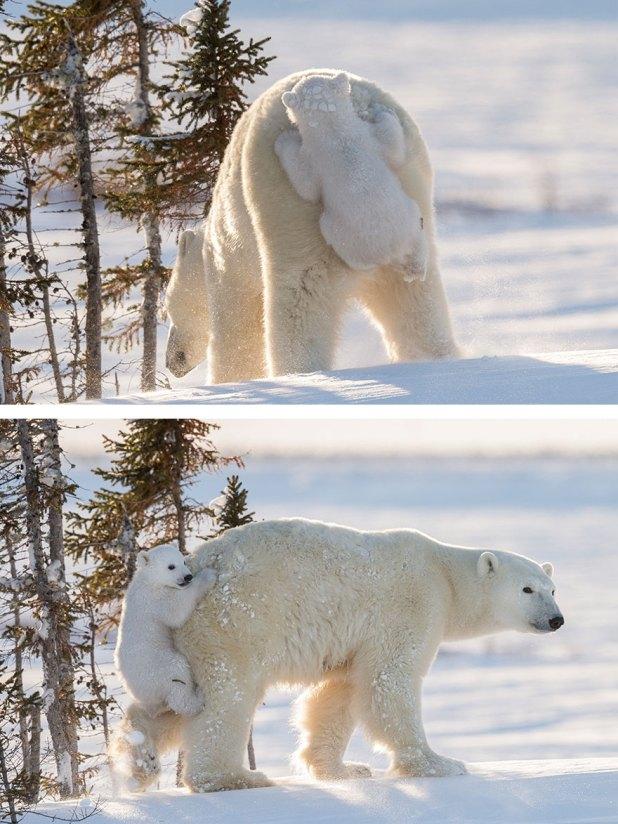fotos-oseznos-polares-11