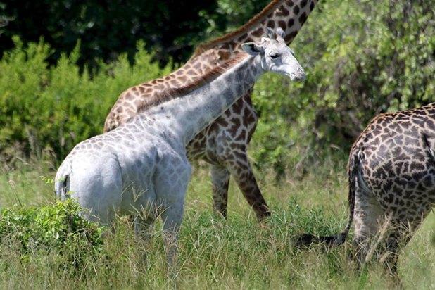 jirafa-blanca-omo-leucismo-tanzania-2