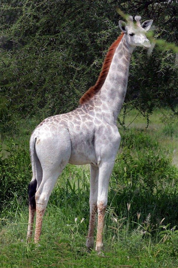 jirafa-blanca-omo-leucismo-tanzania-4