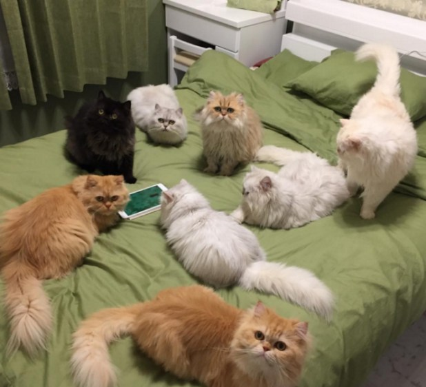 mujer-tiene-12-gatos-persa-chinchilla11