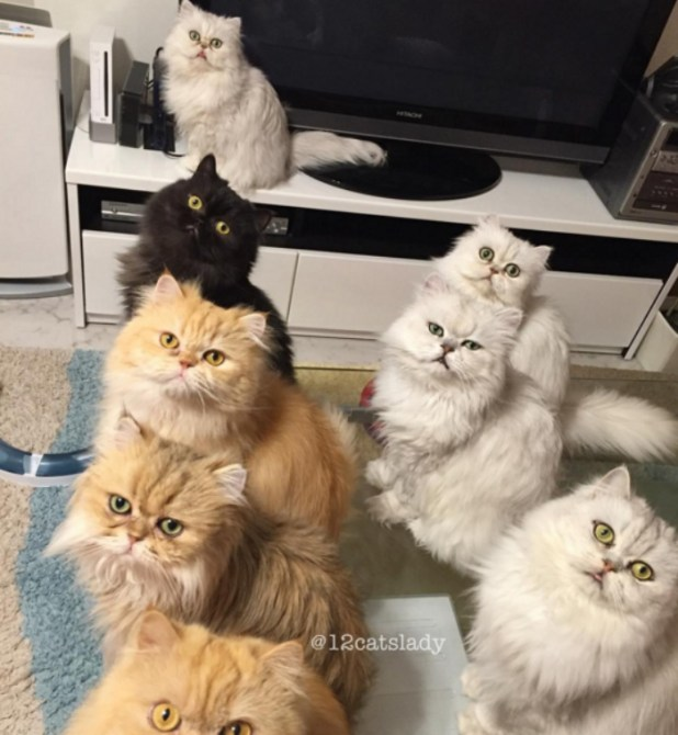 mujer-tiene-12-gatos-persa-chinchilla23