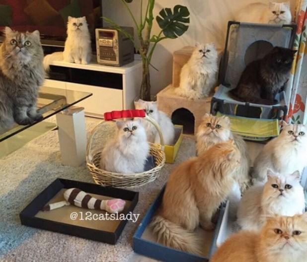 mujer-tiene-12-gatos-persa-chinchilla25
