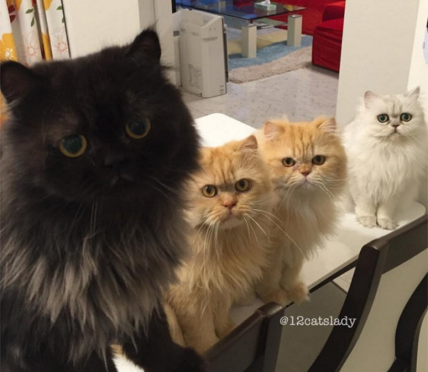 mujer-tiene-12-gatos-persa-chinchilla4