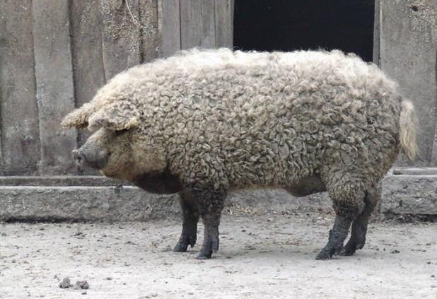 raza-cerdo-lanudo-mangalica-6