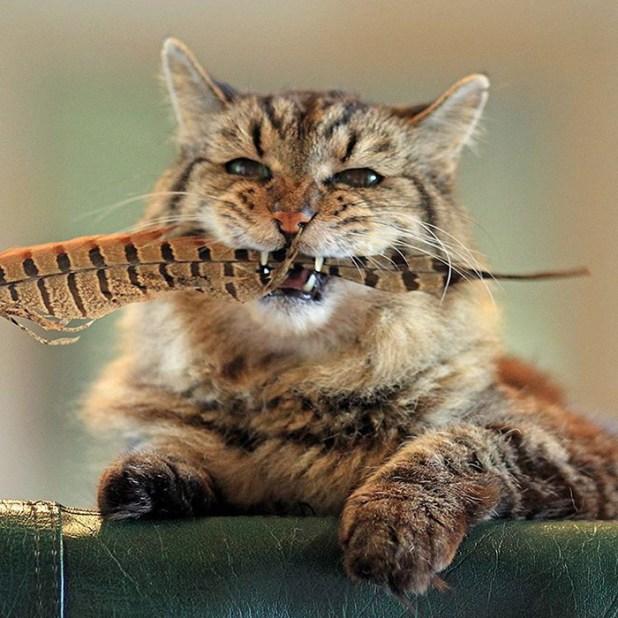 record-gato-viejo-mundo-corduroy-8
