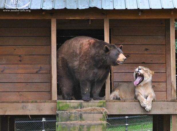 amistad-animal-inusual-oso-leon-tigre-santuario-georgia-3