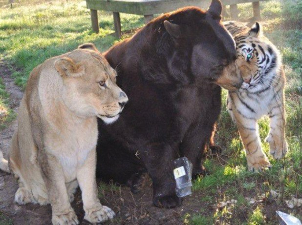 amistad-animal-inusual-oso-leon-tigre-santuario-georgia-5